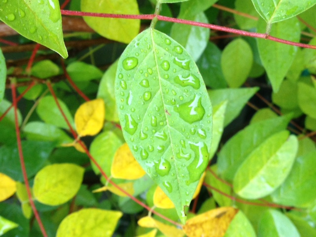 drops-on-leaf