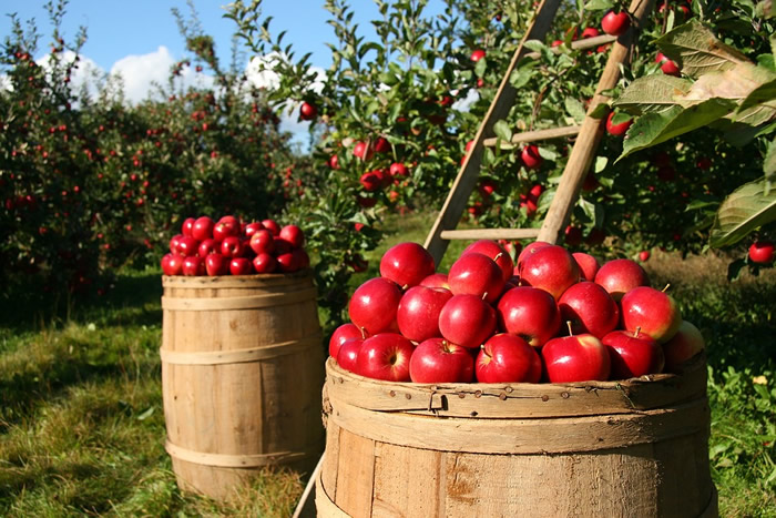 orchard-vermont-apples